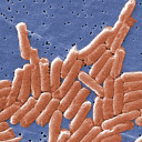 Serotype-correlated Markers for Salmonella enterica Serotype Typhimurium thumbnail